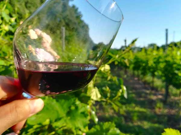 bicchiere di vino rosso e sull osfondo u nvigneto