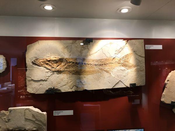 fossile di un pesce