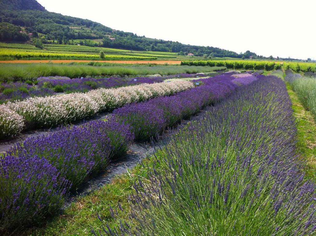 Campi di lavanda in Veneto: dove ammirarne la fioritura