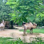 cammelli